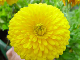 free picture mums flower big yellow