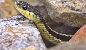Snake Holes In Backyard Common Garter Snake Nongame New Hampshire Fish And Game Department