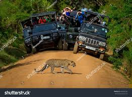 safari jeep front clipart leopard crossing road front audience sri stock photo 464982536