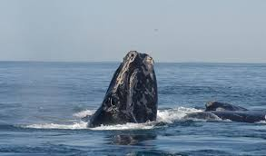 whale deaths may be related to warming seas researchers say