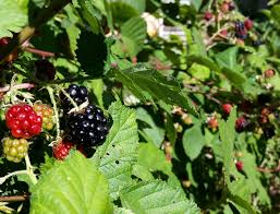 Tree With Fruit That Looks Like Blackberries How To Grow Wild Blackberry Great Fruit Little Effort Youtube