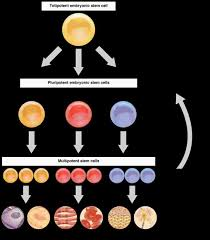 Anatomy And Physiology Cells And Tissues Cellular Differentiation Anatomy And Physiology I