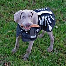 Halloween Skeleton Dog by The World U0027s Newest Photos Of Costume And Weimaraner Flickr Hive Mind