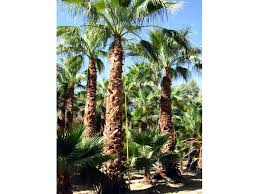 mexican fan palm growth rate robusta fan palm aka mexican fan palm wholesale grower direct