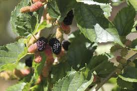 how to identify trees with berries in hunker