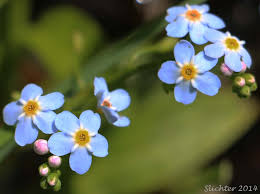 forget me not small forget me not small flowered forget me not