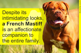Do English Bullmastiffs Shed by Information About The French Mastiff Dogue De Bordeaux Dog Breed