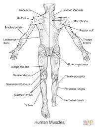 free printable human anatomy coloring pages choice image human
