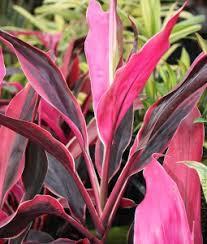 ti plant hawaiian ti plants for sale patioplants