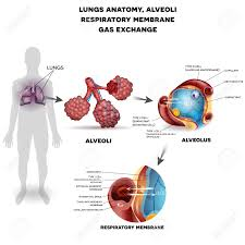 lungs human anatomy image collections human anatomy image