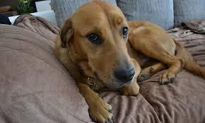 bluetick coonhound and bloodhound mix meet balu the golden retriever mix on pack