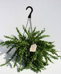 Beautiful House Plants by Beautiful Hanging House Plants Keep Your Indoor Plants Alive With