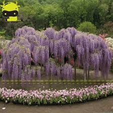 online buy wholesale chinese wisteria from china chinese wisteria