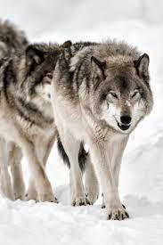 656 best for the love of the wolf images on pinterest animals