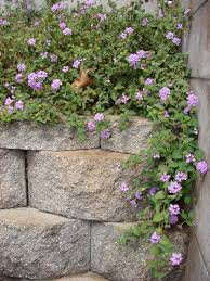 Purple Flower On A Vine - trailing lantana weeping lantana lantana montevidensis a