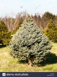 fraser fir christmas tree fraser fir christmas tree in farm stock photo royalty free image