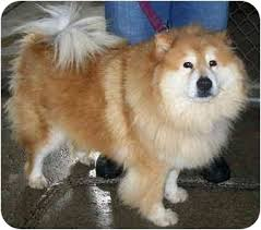 chow chow x belgian malinois vicky adopted dog montreal qc chow chow collie mix