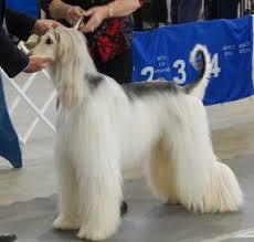 afghan hound adoption florida index