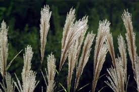 how to care for ornamental grass in your garden gardenoholic