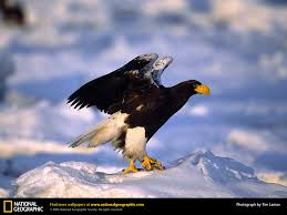 strange eagle wallpapers bird of prey eagle xcitefun net