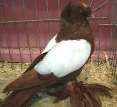 dresden trumpeter pigeon modern farming methods