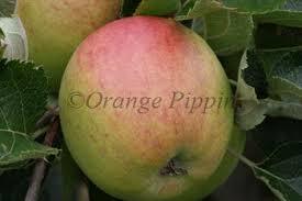 Online Fruit Trees For Sale - winesap apple trees for sale buy online friendly advice
