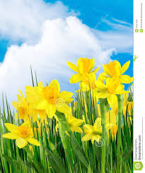 yellow flowers yellow flowers stock photo image of cloud outdoor 18721424