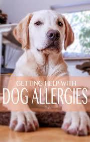common allergies in labrador retrievers