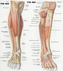 Human Anatomy Atlas Anatomy Of Lower Leg Anatomy Atlas Lower Limb Human Anatomy Library