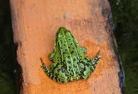 sede rana sede della rana verde sulla scheda gialla immagine stock