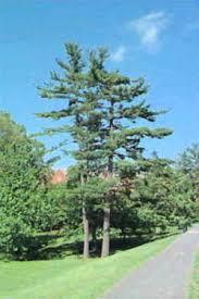 white pine trees michigan state tree eastern white pine pinaceae pinus strobus