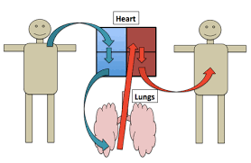 Gross Anatomy Of The Human Heart Flow Through The Heart Video Khan Academy