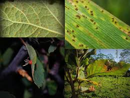 Symptoms Of Plant Disease - reference genomes for 50 rust fungi doe joint genome institute