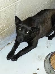 belgian sheepdog on petfinder petfinder adoptable dog schipperke commerce tx mia