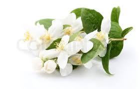 Jasmine Flowers Beautiful White Jasmine Flowers On Water Stock Photo Colourbox