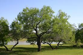 native texas plants for shade simmons oak farms wholesale nursery texas trees for texas landscapes
