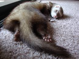 funny ferrets with pester and freya pinterest ferret