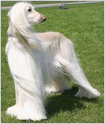 afghan hounds for adoption 866 best perritos bellos images on pinterest