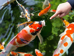 setting up an outdoor pond goldfish or koi pets4homes
