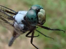 dragonflies 6legs2many