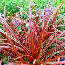 3 uncinia rubra low grass plugs hardy evergreen groundcover