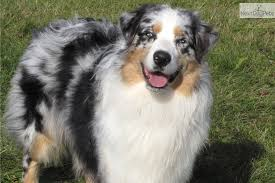australian shepherd breeders near me blue merle australian shepherd bing images animals pinterest