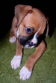 boxer dog disposition best 10 boo dog breed ideas on pinterest fluffy dogs adorable