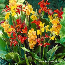 canna lilies tulip world canna mix 23152