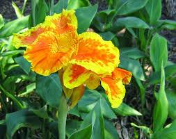 cana lilly benefits and benefits flowers kana canna indica to health