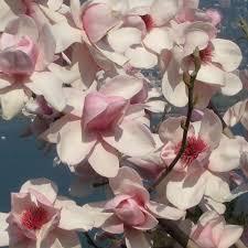 magnolia iolanthe buy pink magnolia tree magnolias
