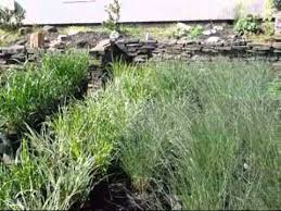 location to buy ornamental grasses