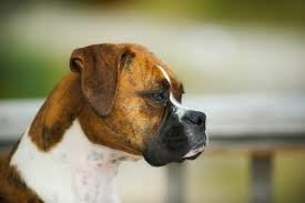 boxer dog breeders near me top 5 brindle dog breeds preview and pictures animal bliss