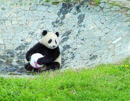 Lights At The National Zoo by Timeline History Of Pandas At The National Zoo The Washington Post