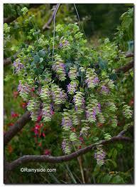 origanum rotundifolium barbara tingey ornamental oregano